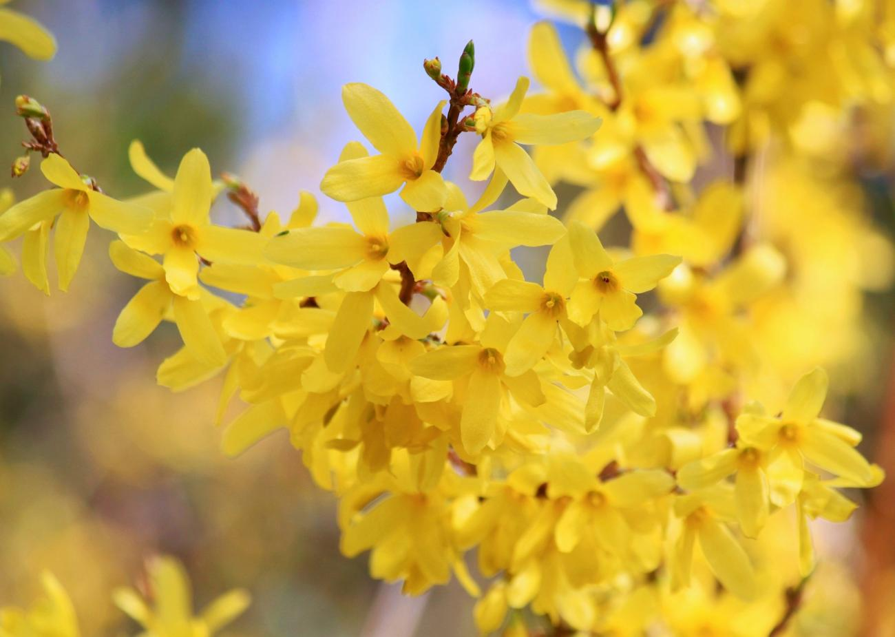 Forsythia Branches