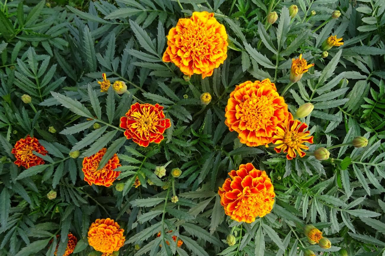 Marigolds How To Plant And Grow Marigold Flowers The Old Farmers