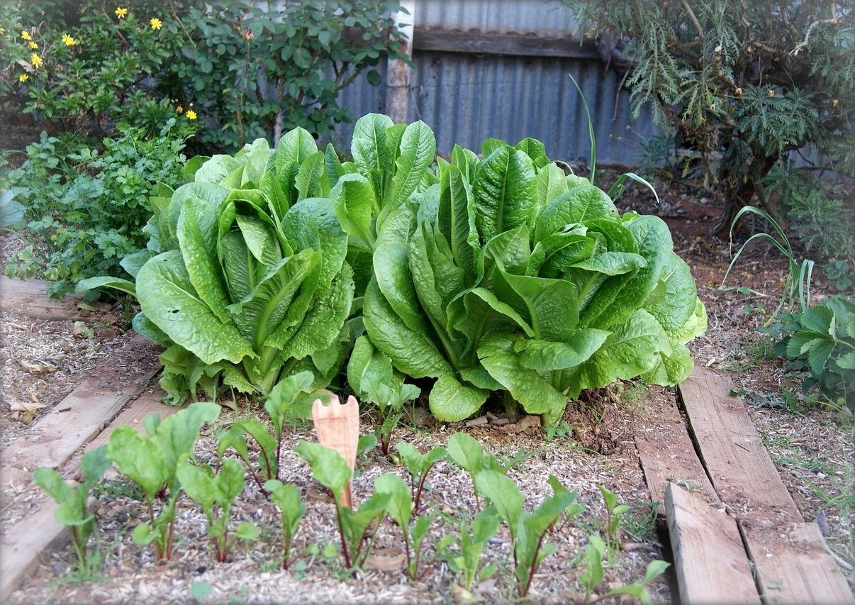 Charmant Garden Plans Vegetables Grow Partial Shade Lettuce Pixabay