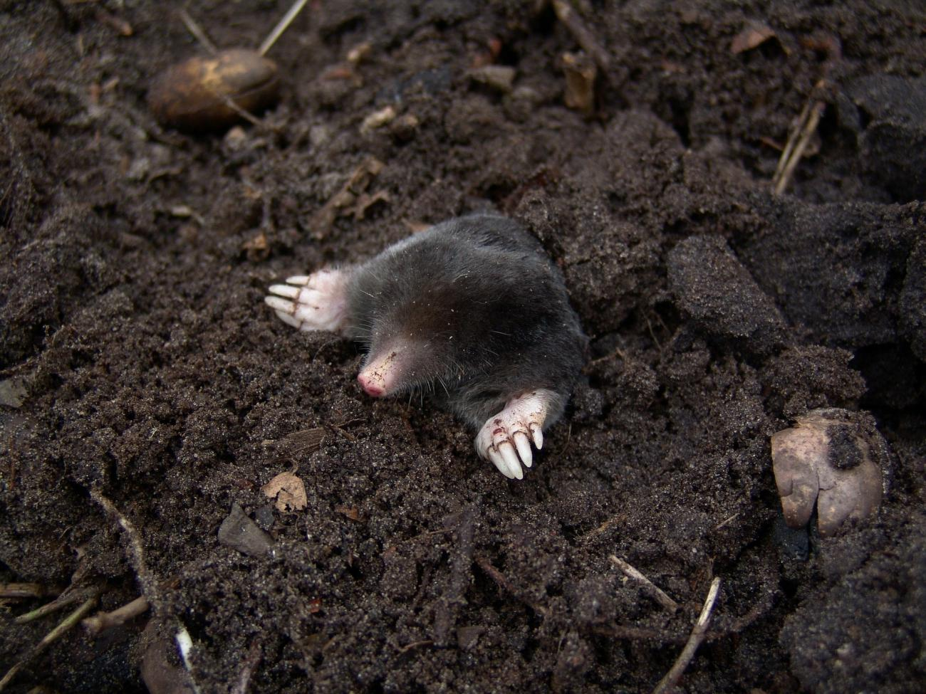 Moles: How to Identify and Get Rid of Moles in the Garden or