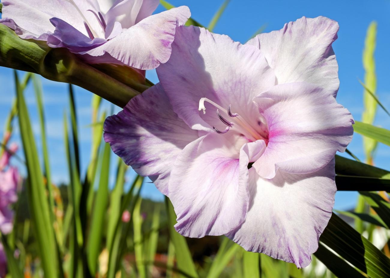 Gladiolus How To Plant Grow And Care For Gladiolus The Old Farmer S Almanac