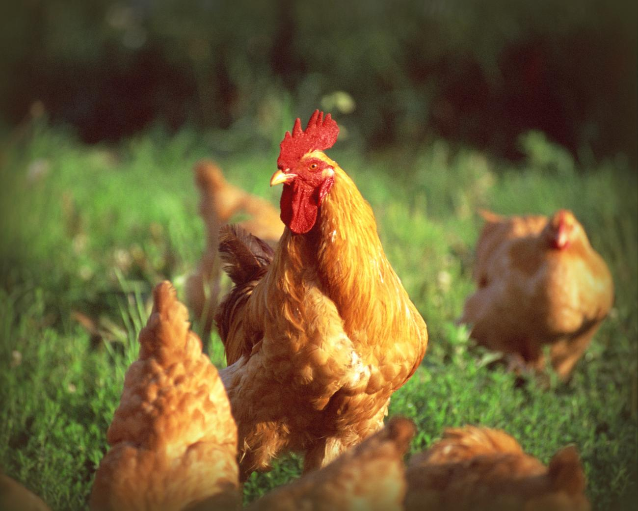 Glossary of Chicken Terms-Chicken-Thinkstock