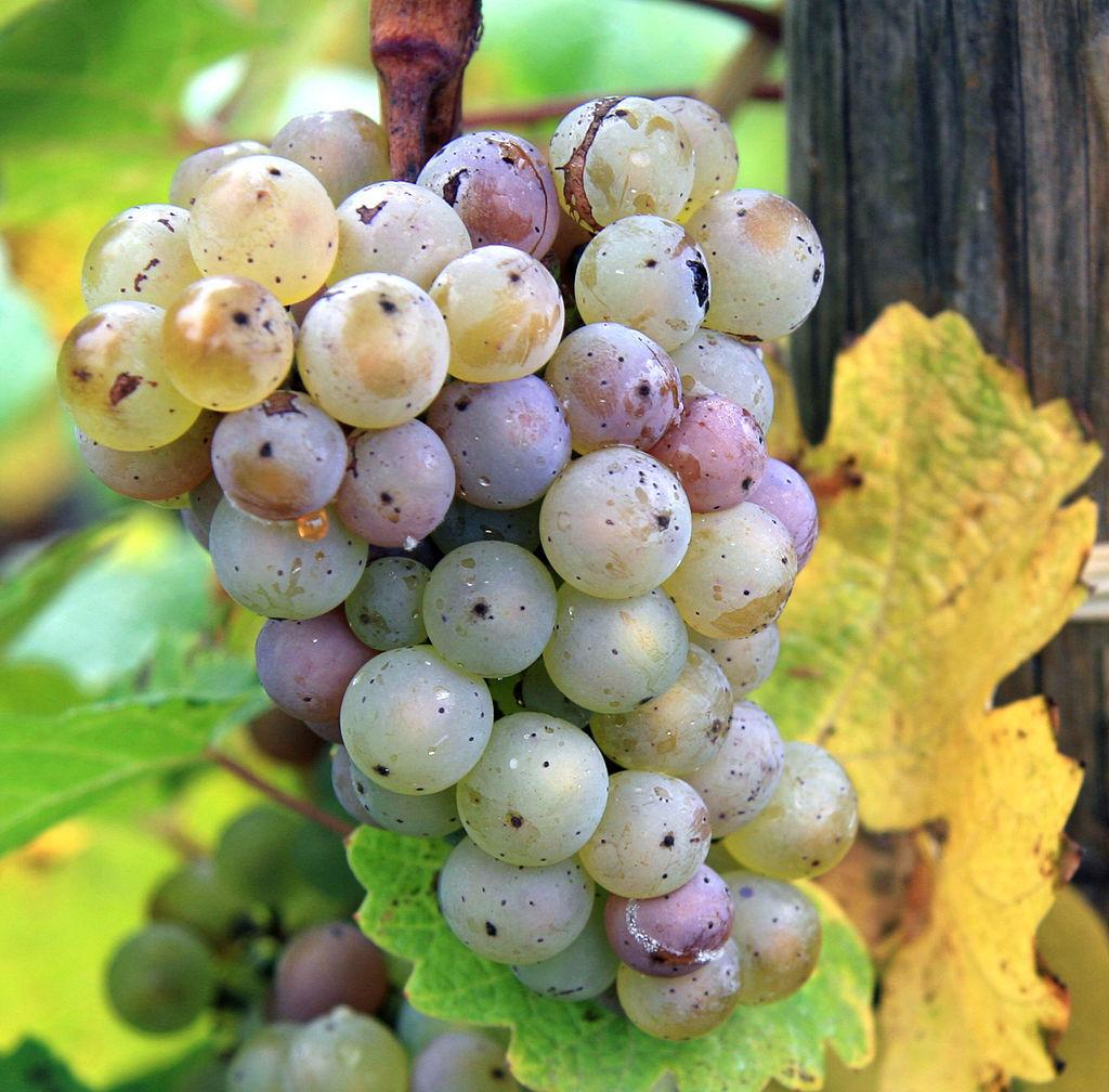Gray mold-on Riesling grapes-Rob and Lisa Meehan-Wikimedia Commons