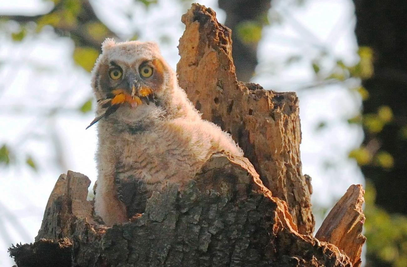 Great Horned Owlet Eating Baltimore Oriole