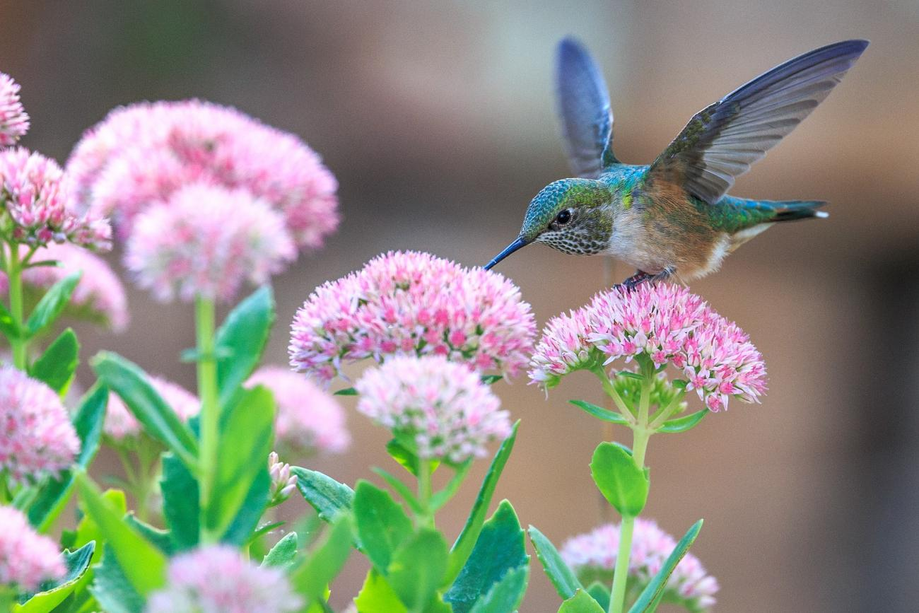 Hummingbird And Plant