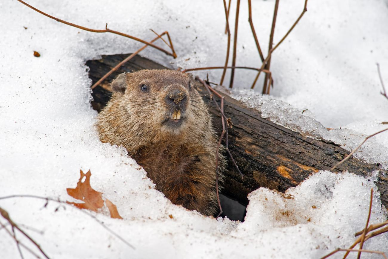 Groundhog in Snow