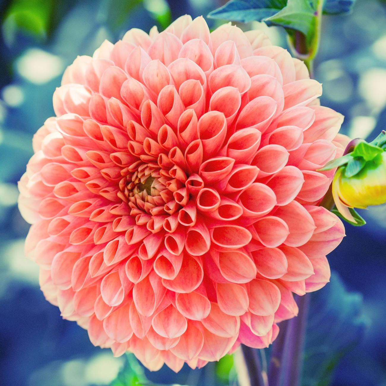 Growing Guide: Spring-Planted Bulbs - Dahlia - Pixabay