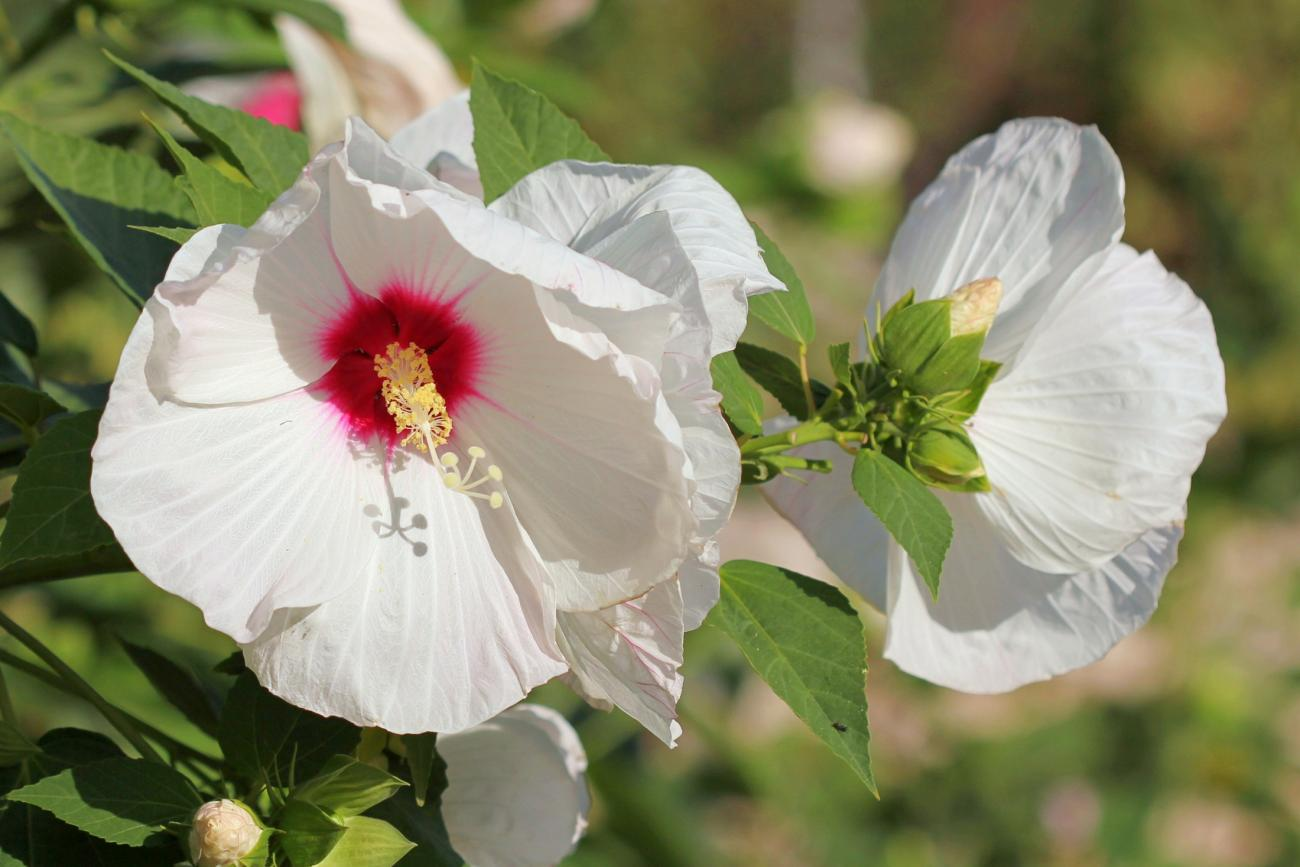 Hibiscus How To Plant Grow And Care For Hardy Hibiscus Plants