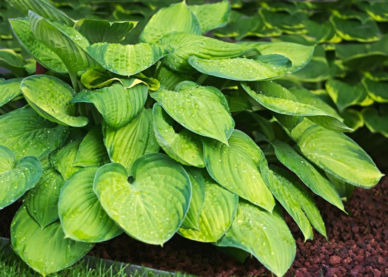 Image result for hosta