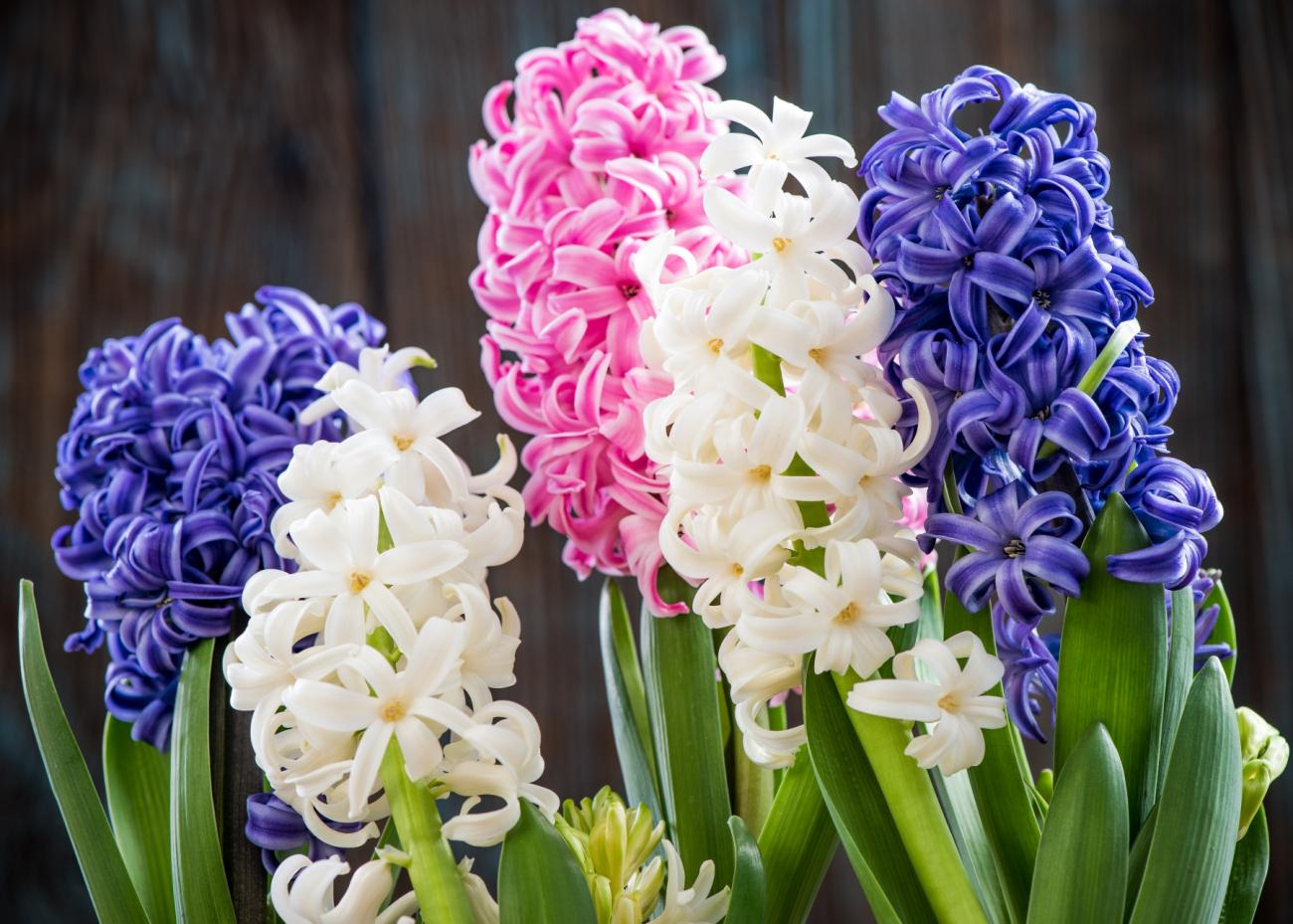 Hyacinth and muscari planting and caring for hyacinth bulbs the hyacinths mightylinksfo