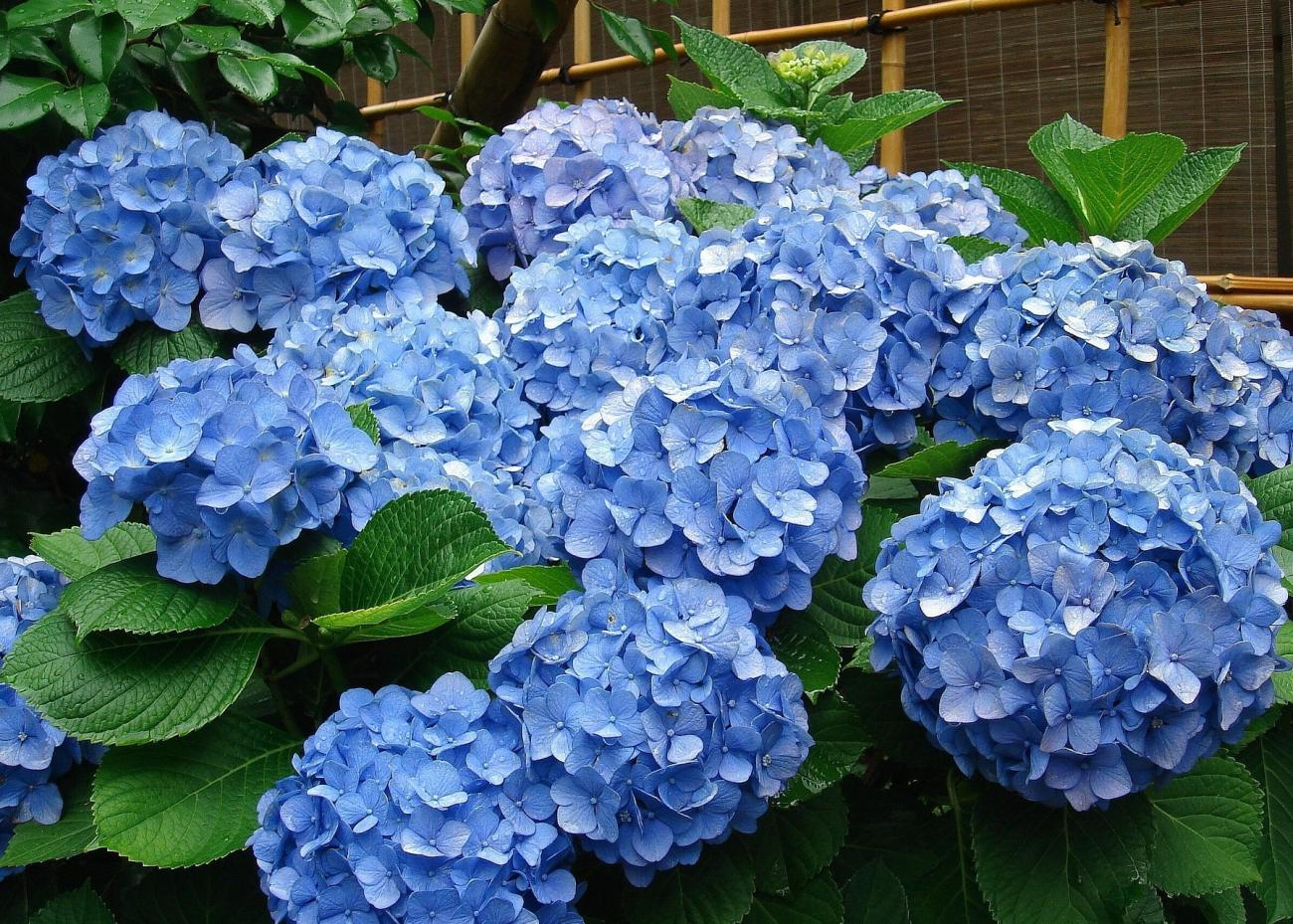 Pruning Hydrangeas How And When To Prune The Old Farmer S Almanac