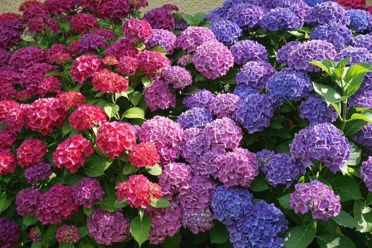 Hydrangea Flower Colors