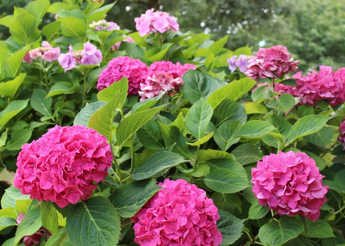 Hydrangeas how to plant grow and prune hydrangea shrubs the old hydrangea bush pink mightylinksfo