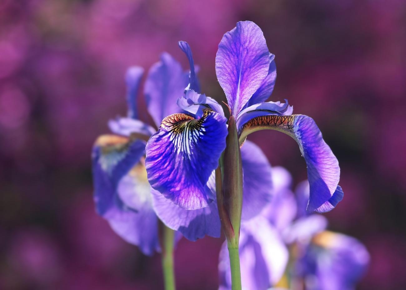 Irises: How to Plant, Grow, and Care for Iris Flowers | The