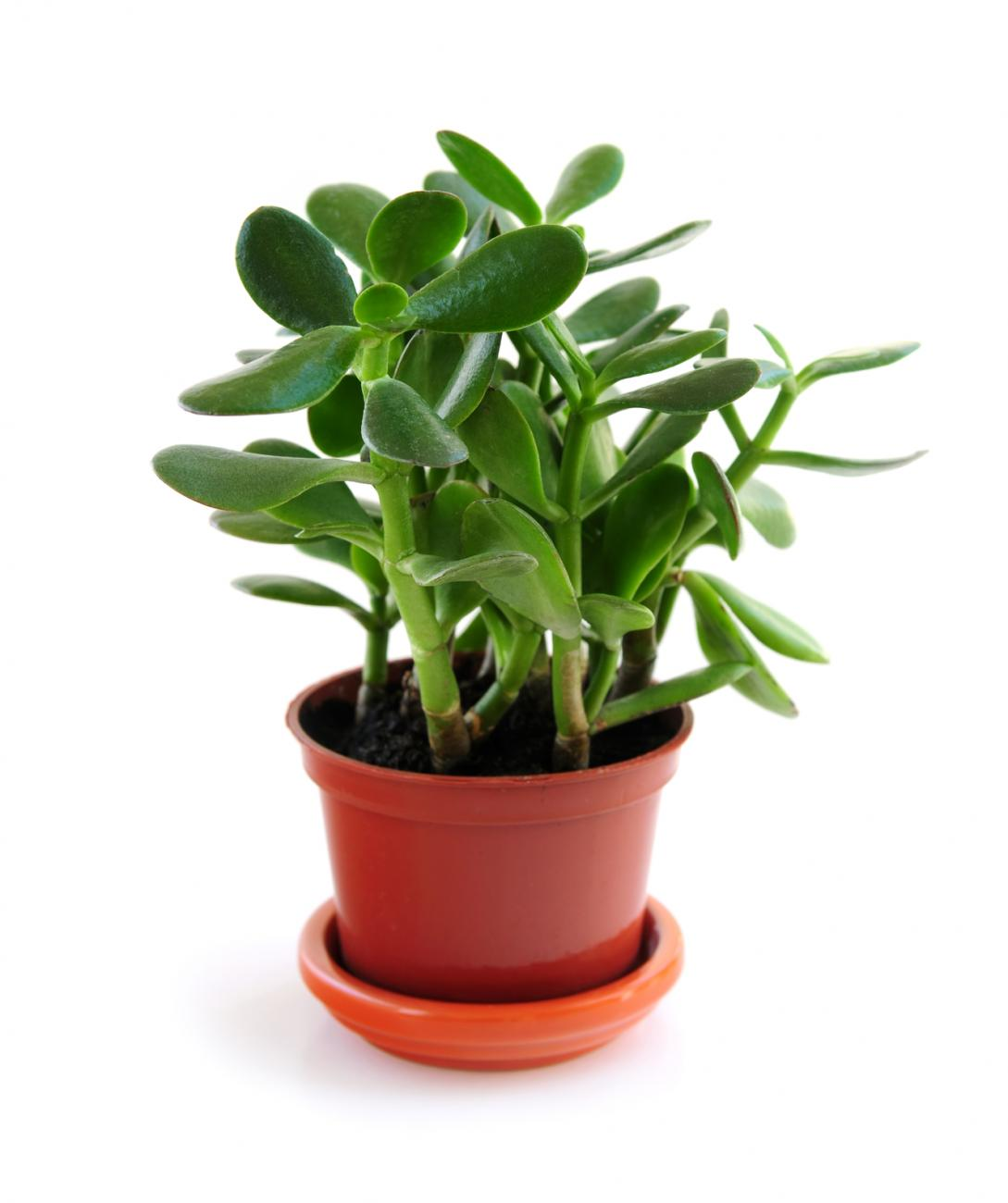How To Plant, Grow, And Care For Jade Plants