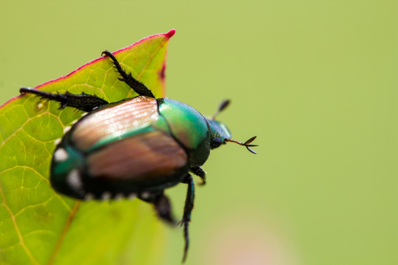japanese-beetle-garden-pest-bug