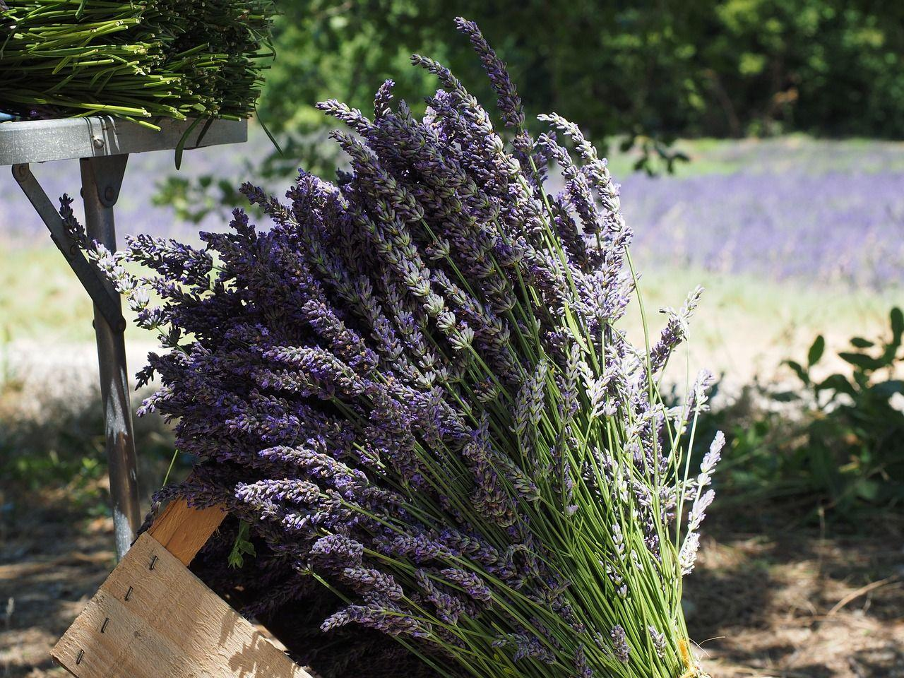 Lavender Garden Bundles for Home and Health