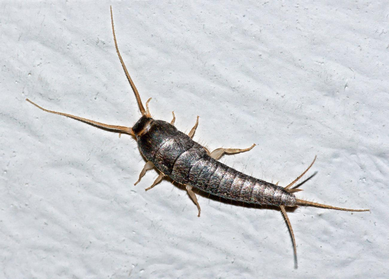 Silverfish (Edited)