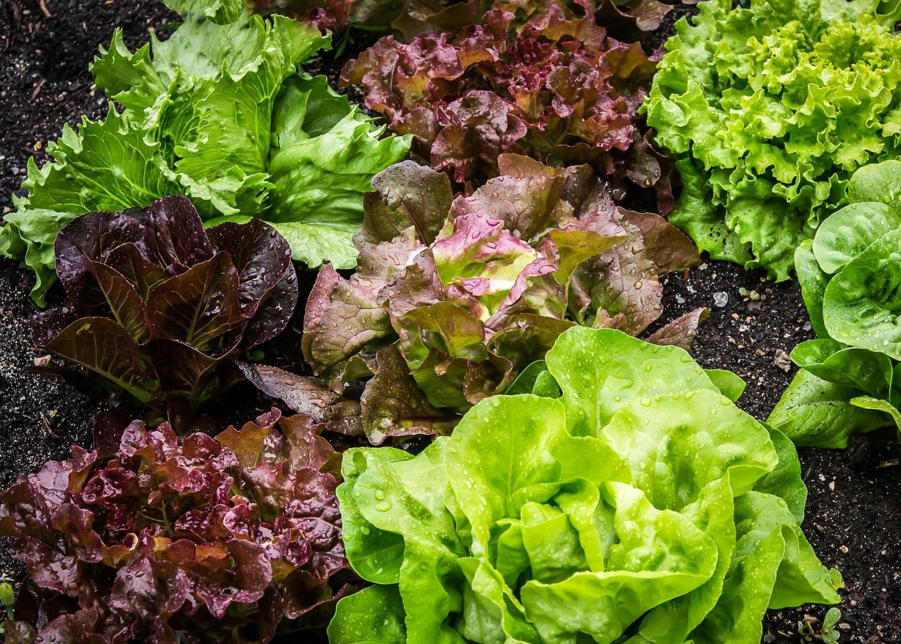 Lettuce: Planting, Growing, and Harvesting Lettuce | The Old