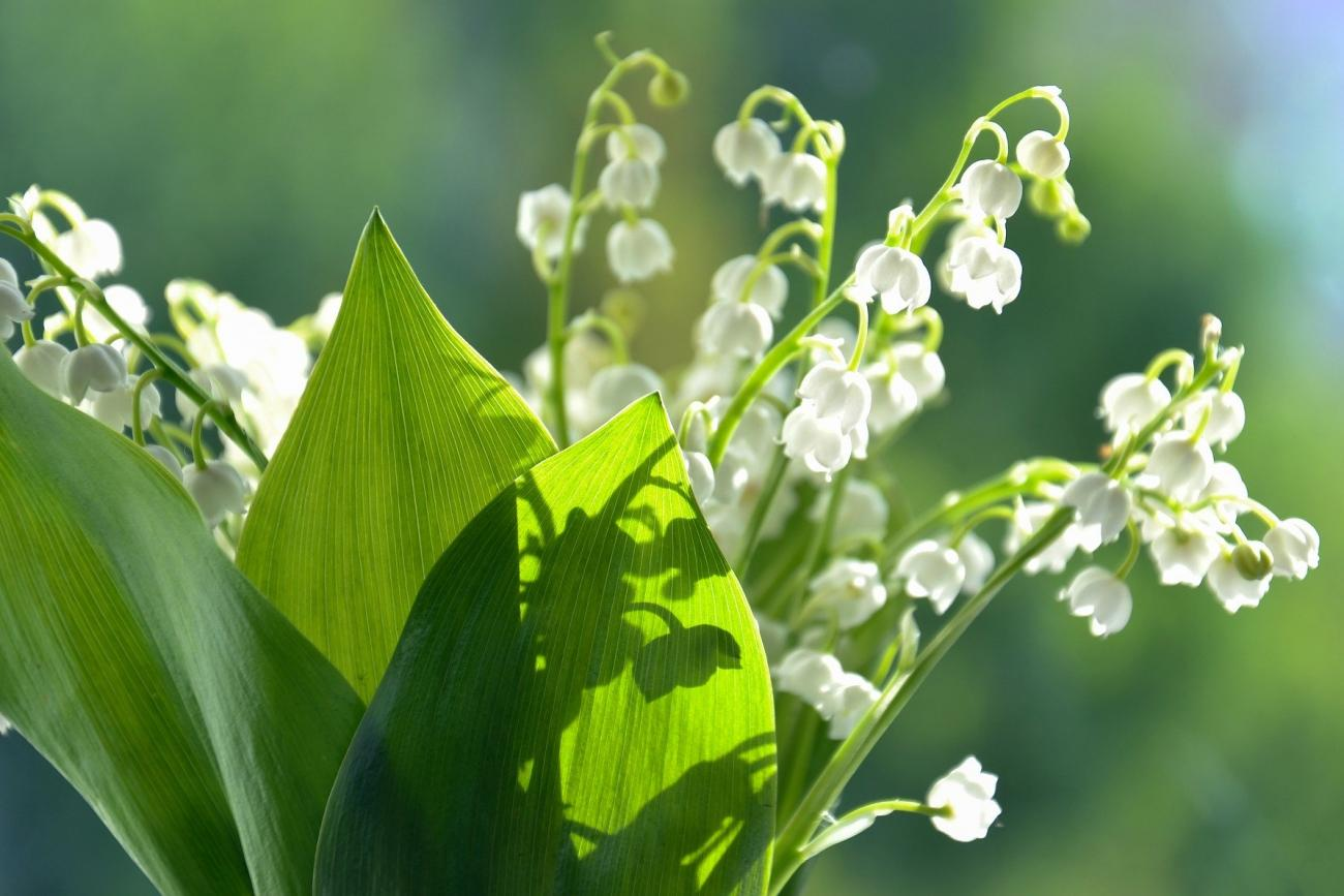 Lily of the Valley in Sun