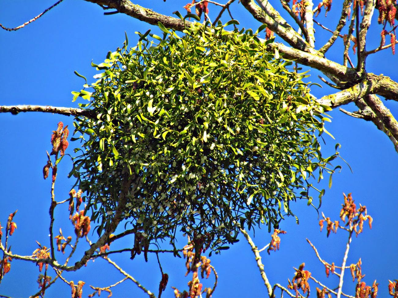 Mistletoe Meaning and Lore | Why We Kiss Beneath It