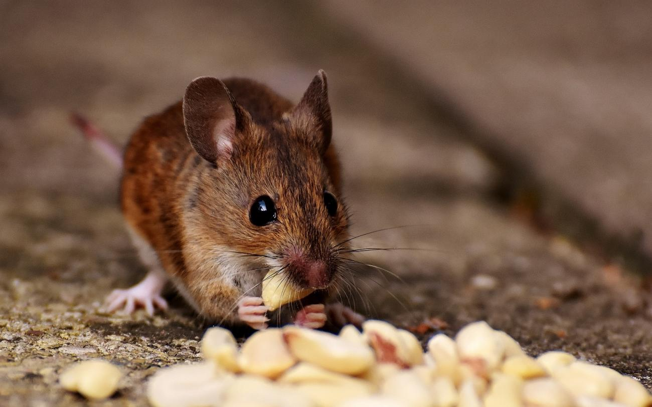 Mice: How to Identity and Get Rid of Mice in the Garden and