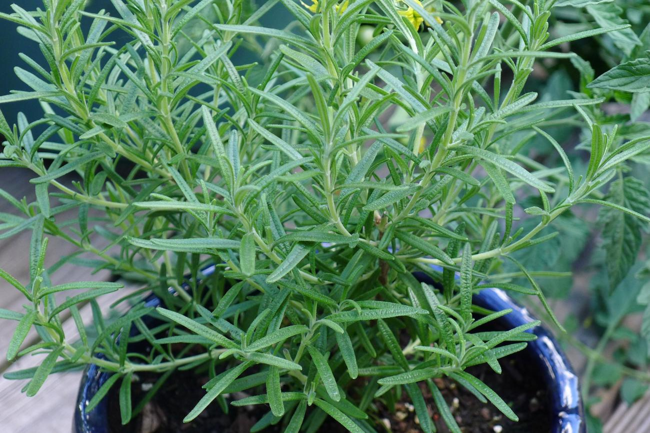 overwinter-rosemary-indoors