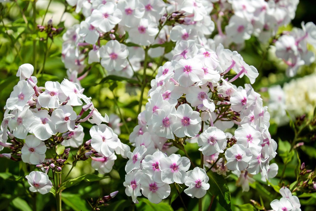Phlox planting growing and caring for phlox the old farmers white phlox mightylinksfo