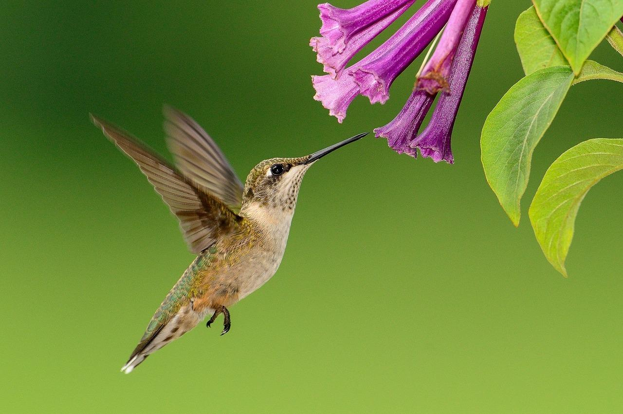 Plants that attract hummingbirds the old farmers almanac how to attract hummingbirds to your garden mightylinksfo Choice Image