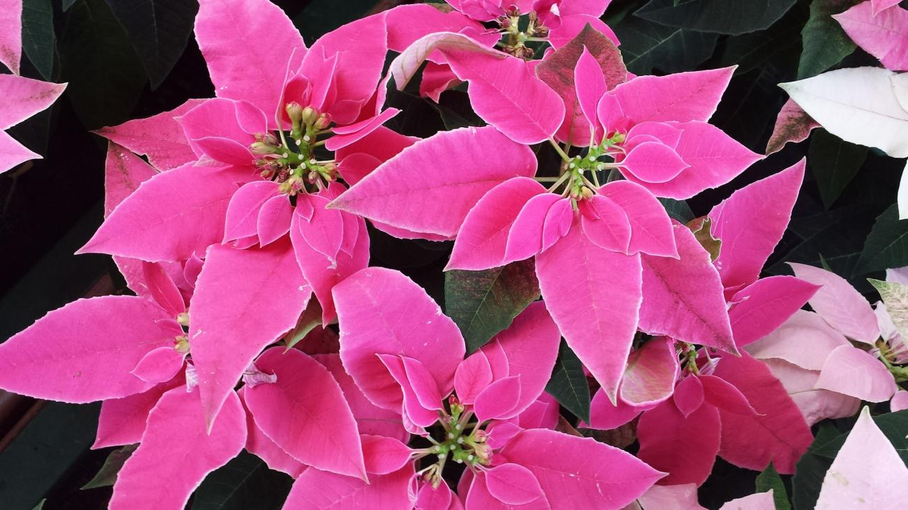 Poinsettia Plant Care Holiday Plants