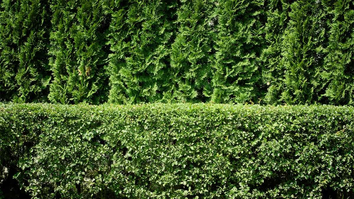 Shrubs and Trees for Making Hedges