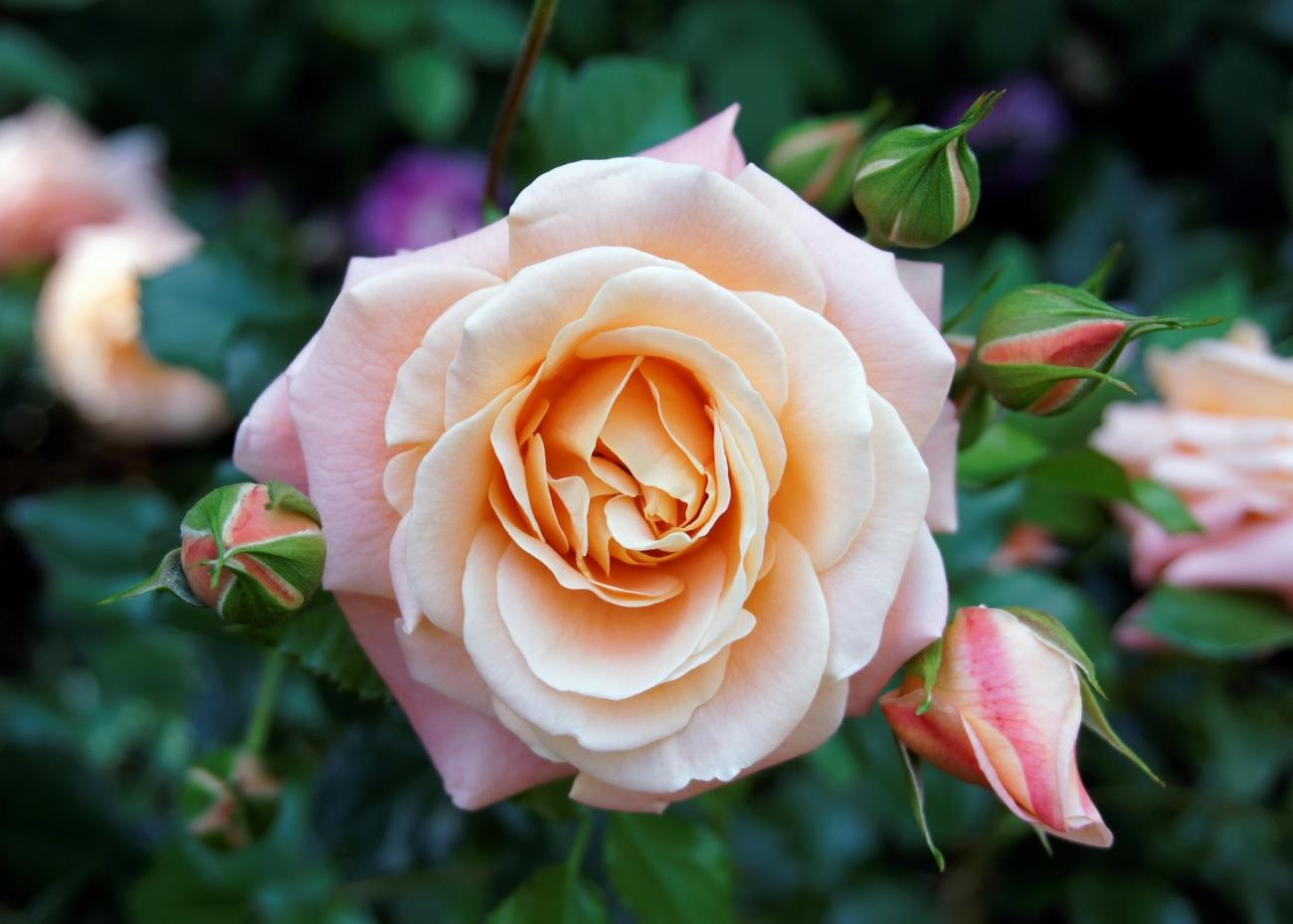 Roses: Planting, Growing, and Pruning Roses | The Old Farmer\'s Almanac