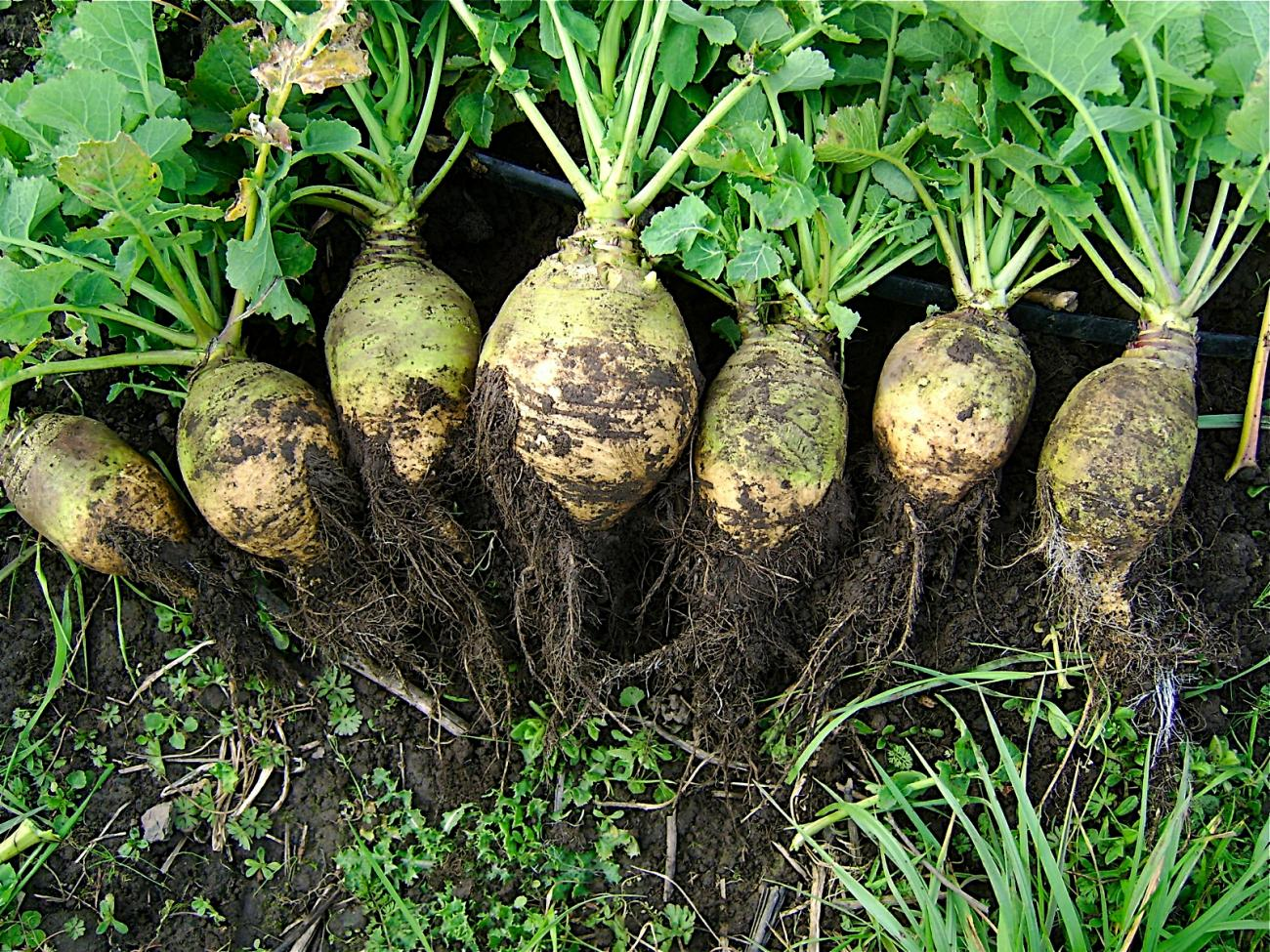 rutabaga-planting-growing
