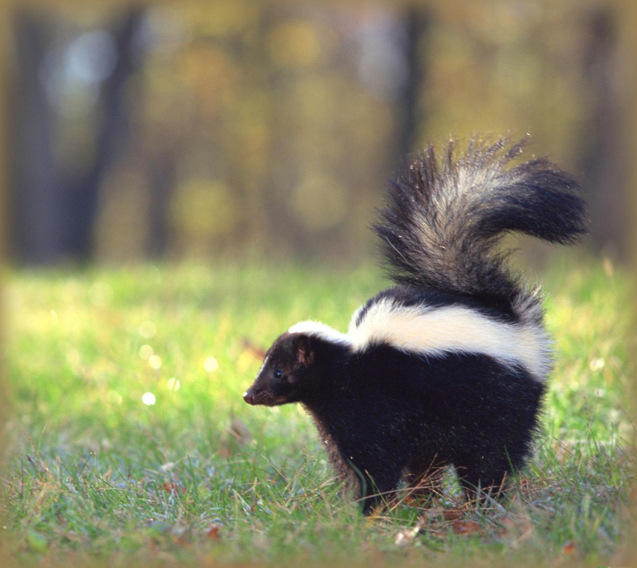 Skunks How to Identify and Get Rid of Skunks in the Garden The