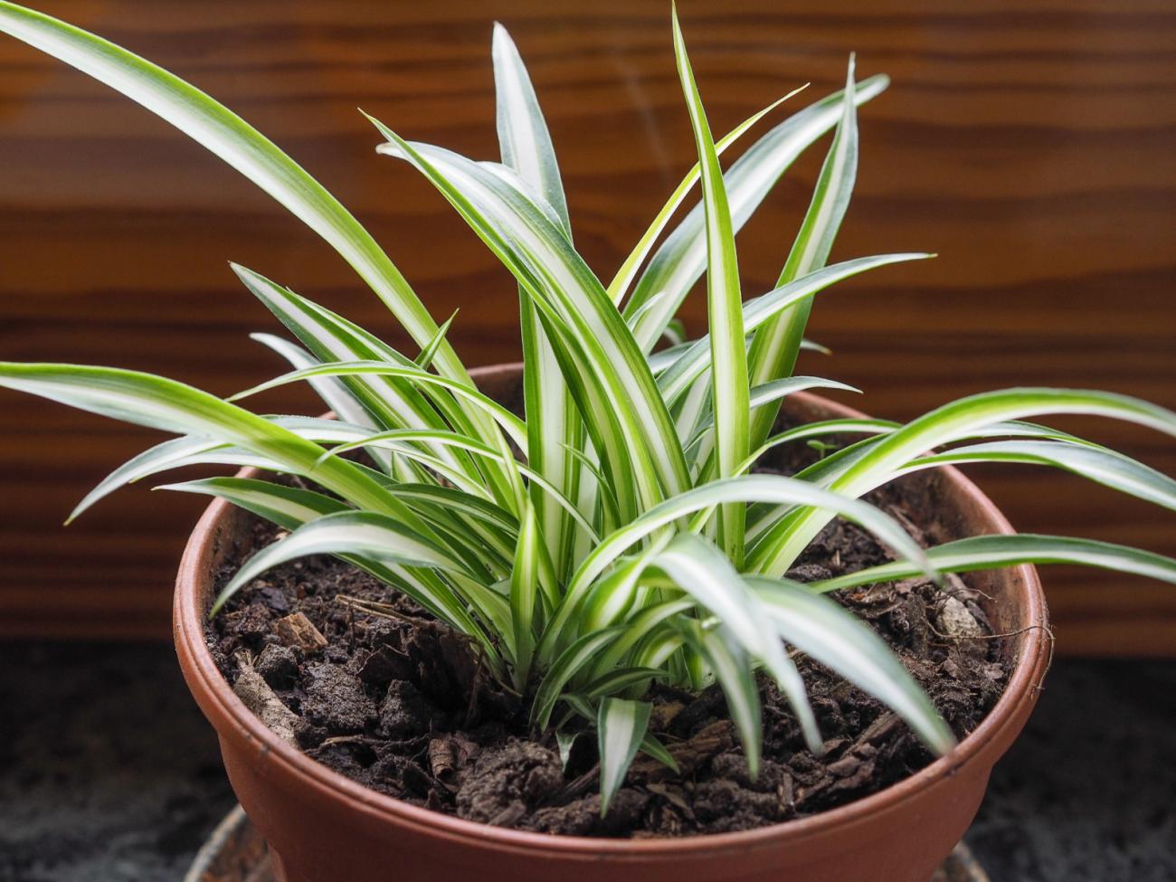 spider plants how to grow and care for spider plants the old farmer 39 s almanac. Black Bedroom Furniture Sets. Home Design Ideas