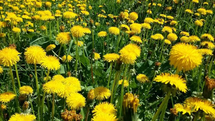 Dandelion Meadow