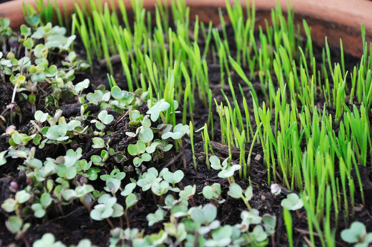 Growing Microgreens and Sprouts