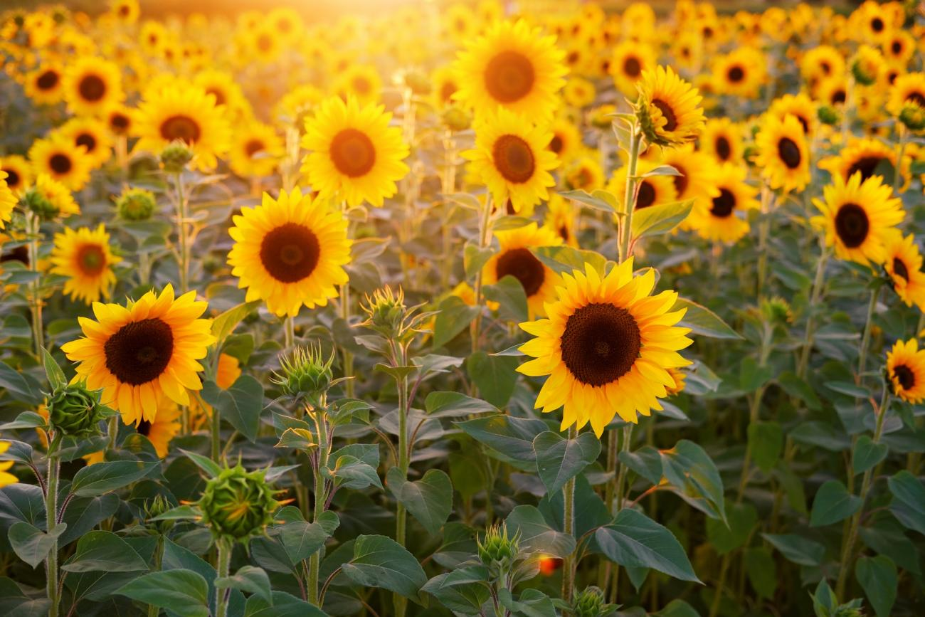 Sunflower Field with Sunshine