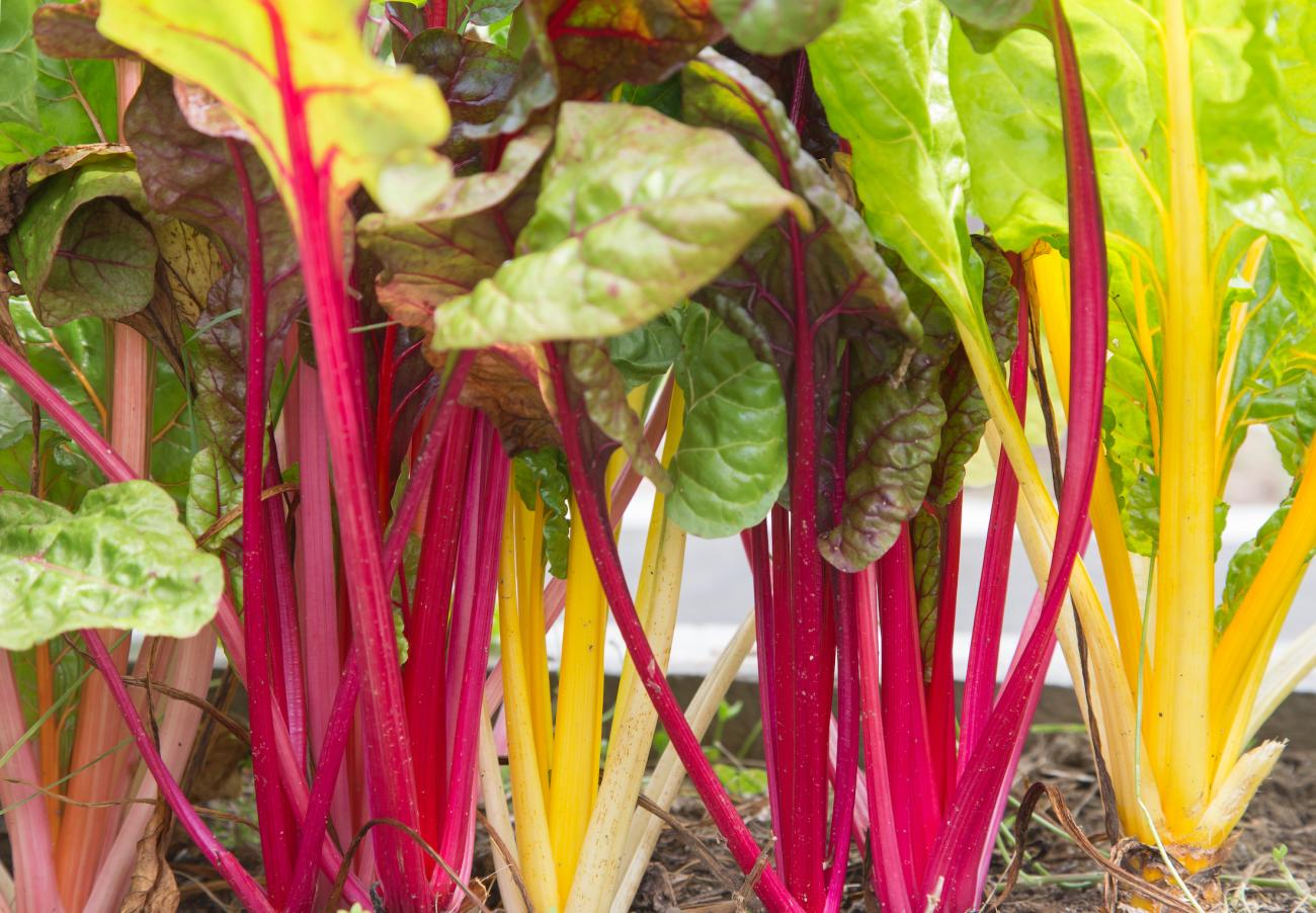 Swiss Chard Planting Growing And Harvesting Swiss Chard The Old Farmer S Almanac