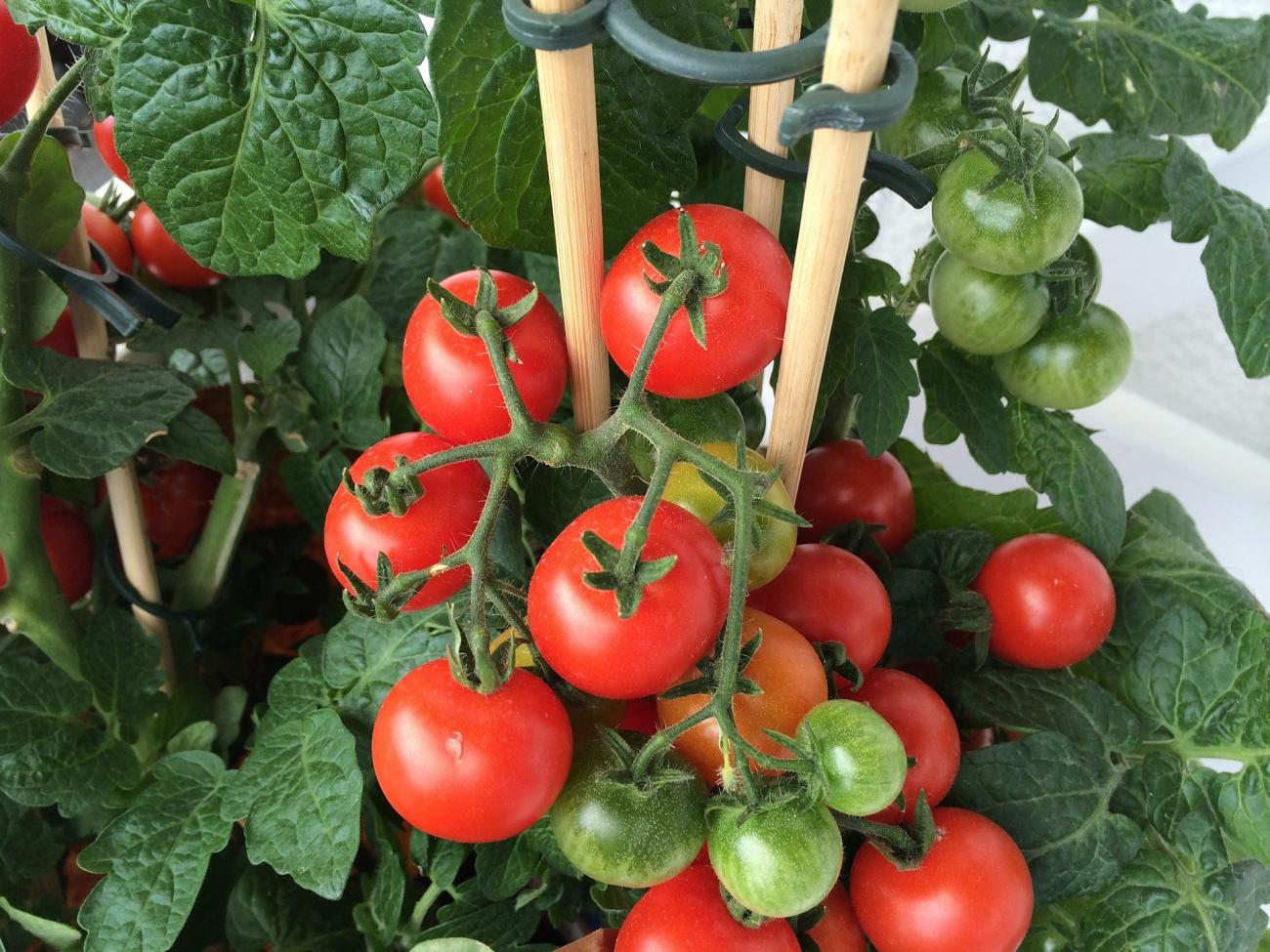 Tomatoes Container Gardening