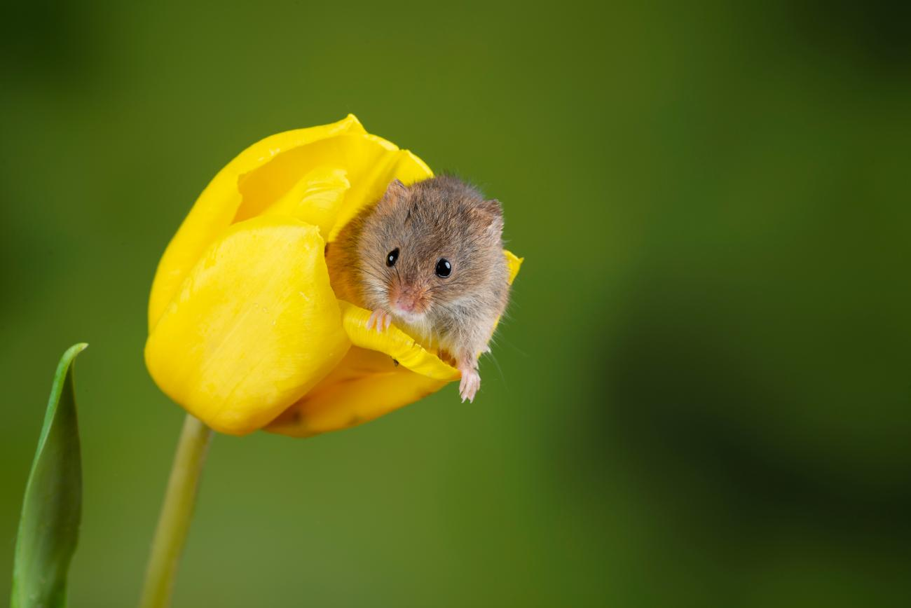 Harvest Mouse and Tulip