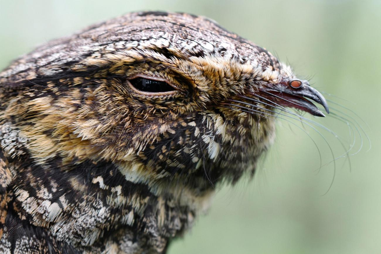 When the Whippoorwill Calls | Old Farmer's Almanac