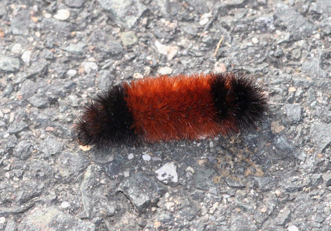 Using Woolly Worms For A Winter Forecast