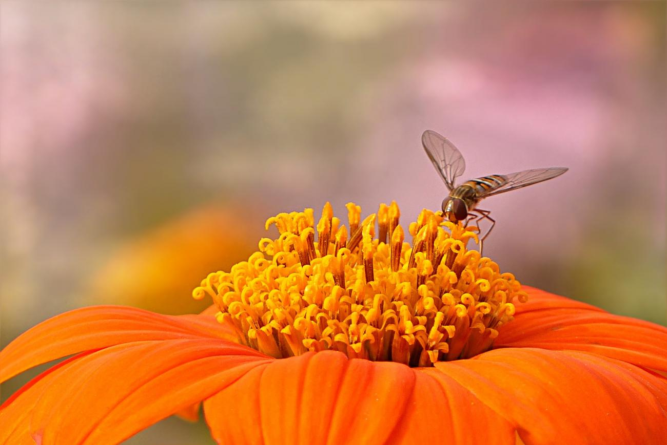 Hoverfly on Zinnia
