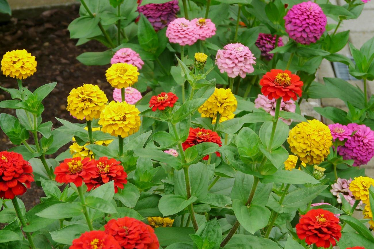 Zinnia flower bed