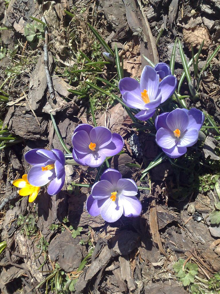 Best bulbs for naturalizing the old farmers almanac best bulbs for naturalizing spring crocuses early spring crocuses in our garden mightylinksfo