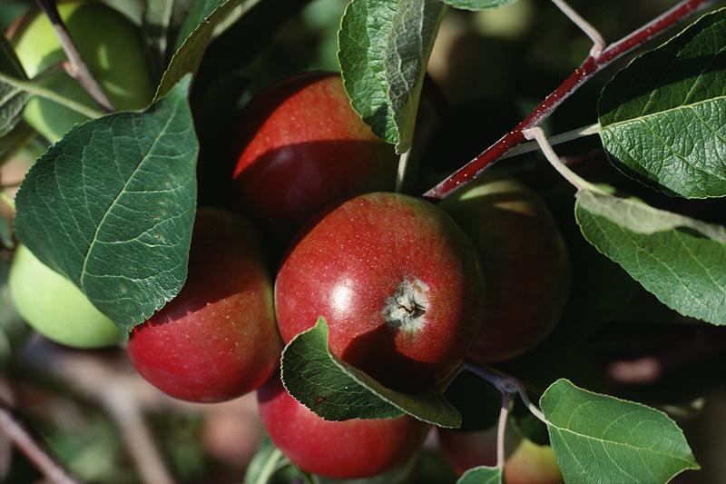 Apples How To Plant Grow And Harvest Apple Trees The Old