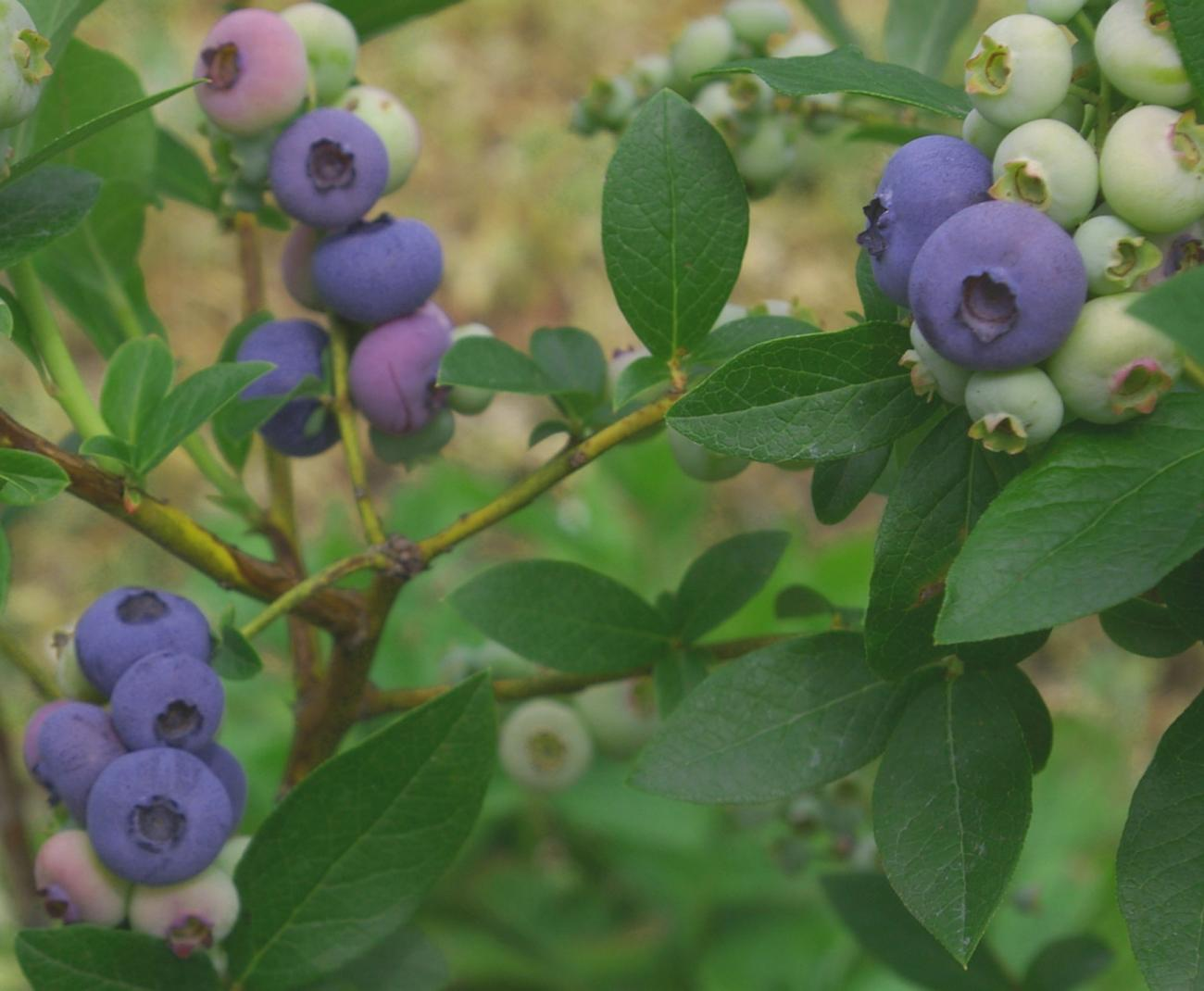 My blueberry shrubs produce prodigiously but I need more for freezing That s why I ll be planting shrubs like this Blue Crop in containers