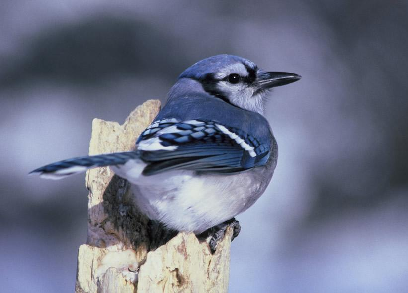 How To Keep Animals Out Of My Garden Part - 44: Blue Jay