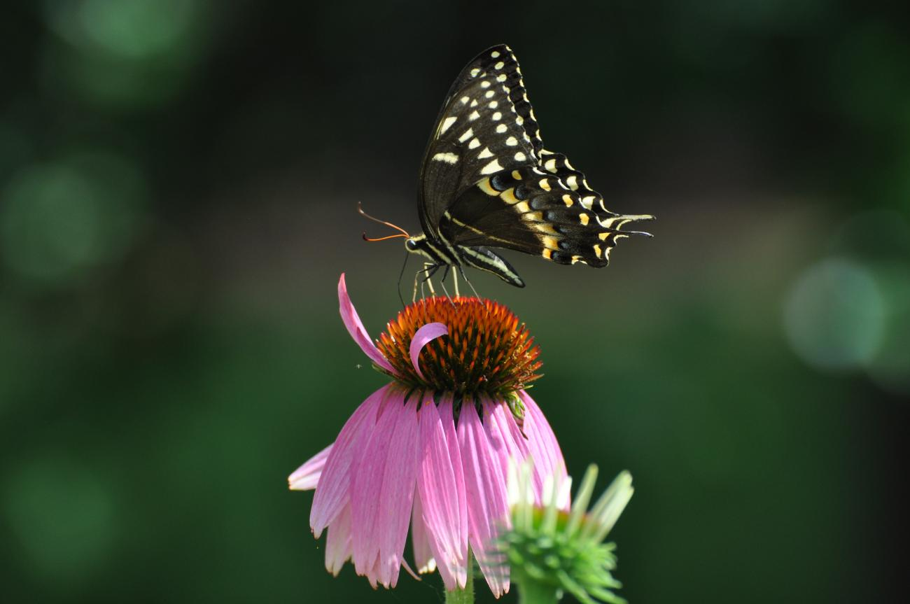 Palamedes Swallowtail on a Purple Coneflower